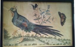 Pheasant from China